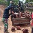 Satgas TMMD Kodim Aceh Barat Bantu Warga Dusun Trans Panen Sawit