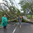 Dihantam Angin Kencang, Banyak Pohon di Samalantan Tumbang