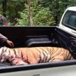Penembak Jitu Lumpuhkan Harimau yang Lepas dari Sinka Zoo Singkawang