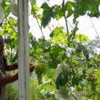 Merugi di Masa Pandemi, Petani Beralih Tanam Anggur