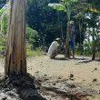 Hari Lahir Pancasila, Warga Protes Jalan Rusak dengan Tanam Pohon Pisang
