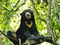 Beruang Madu di Taman Kelempiau di Kabupaten Sekadau Dikabarkan Keluar dari Kawasan Hutan