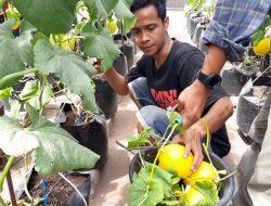 Tingkatkan Ekonomi Dimasa Pandemi, Manfaatkan Pekarangan Rumah, Tanam Golden Melon